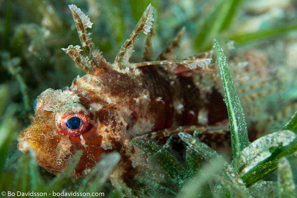 BD-121128-Aqaba-7497-Dendrochirus-brachypterus-(Cuvier.-1829)-[Shortfin-turkeyfish].jpg